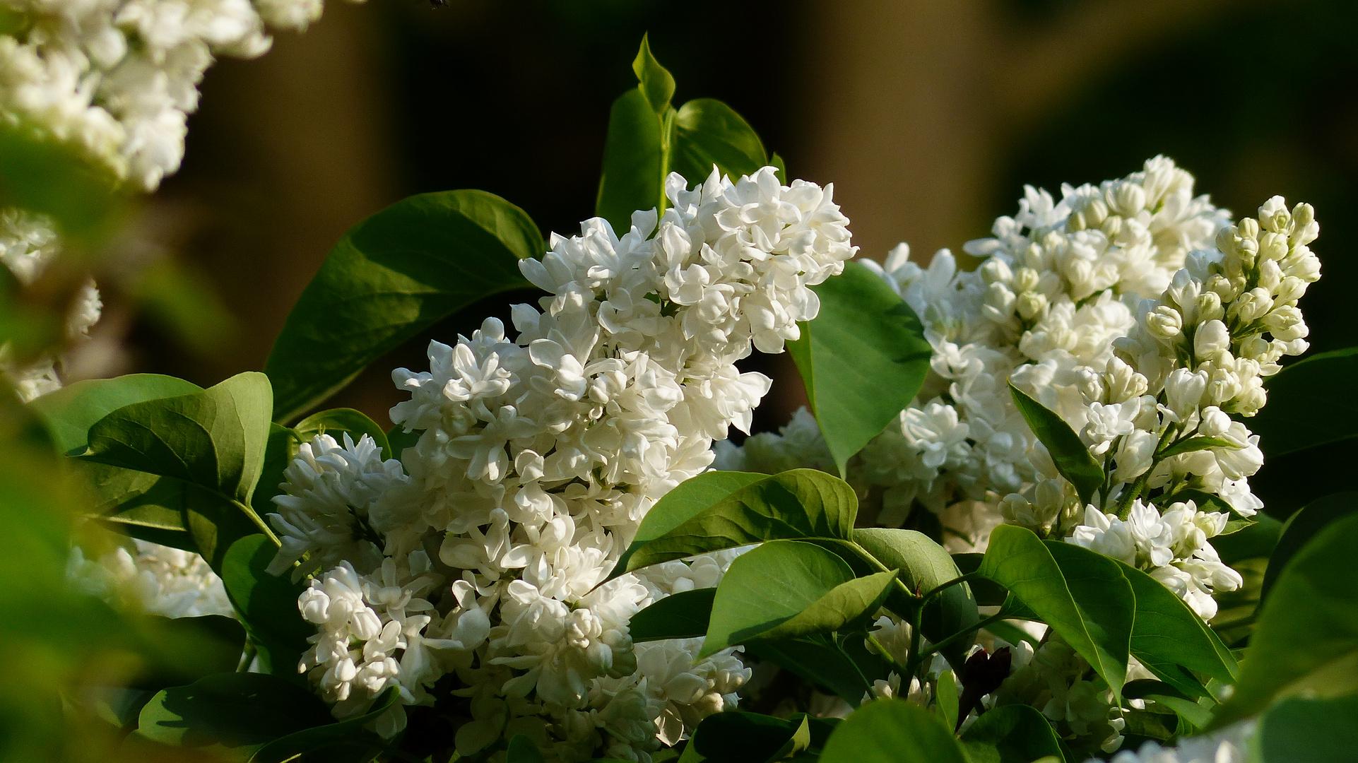 Frühjahrstraum in weiß