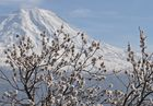 Frühling am Ararat
