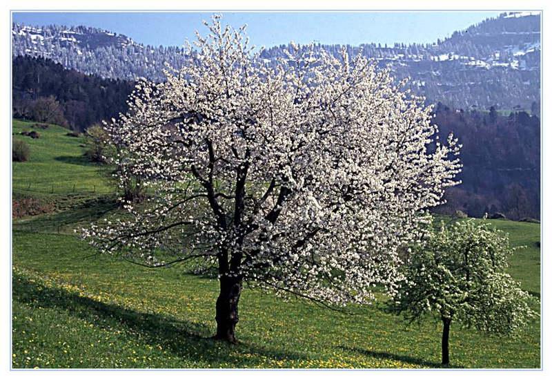 Frühling am Rigi