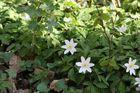 Frühling auf dem Waldboden
