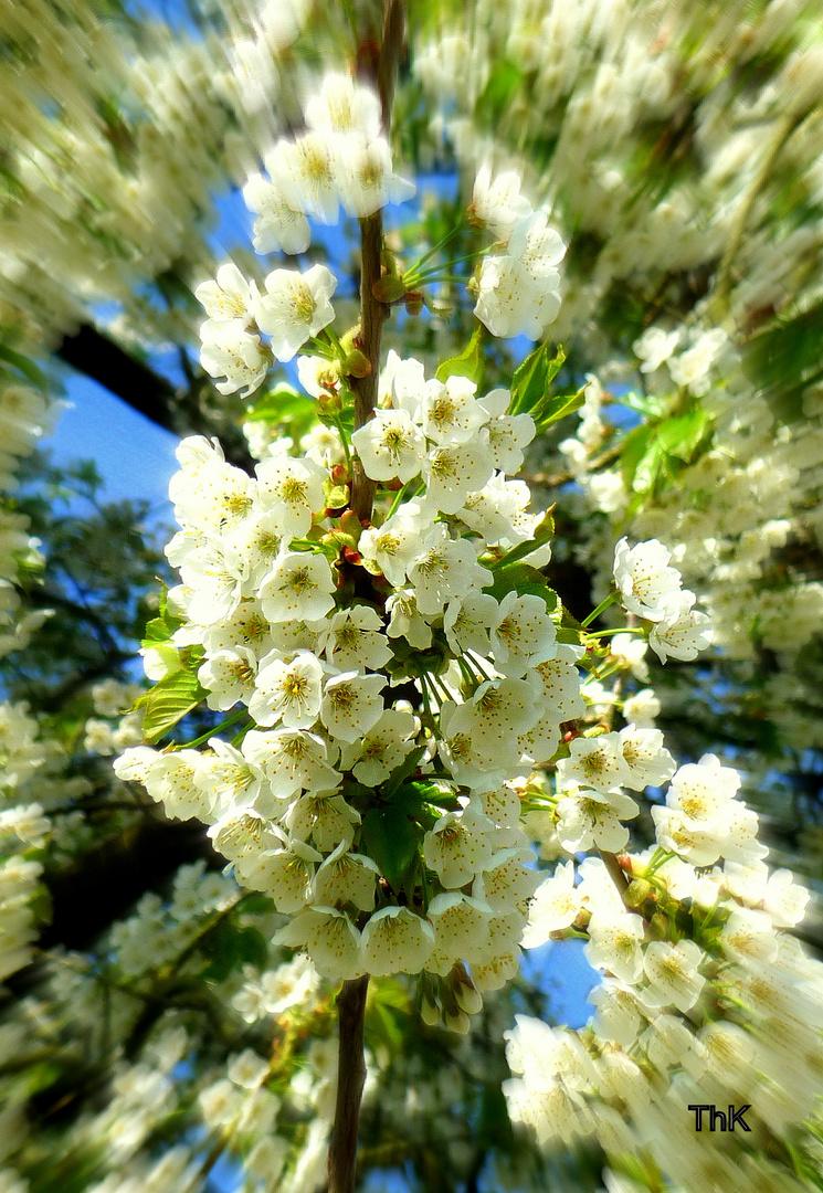 Frühling-die Kirsche blüht