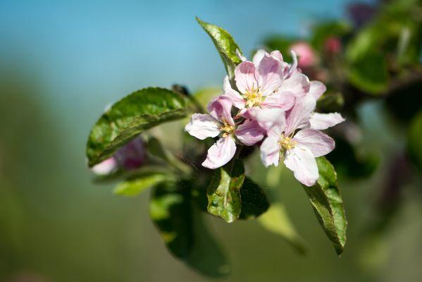 Frühling im Alten Land ...