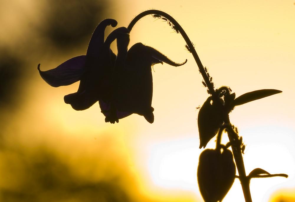 Frühling im Garten - Akelei, Bitte umfahren sie den Stau weiträumig...