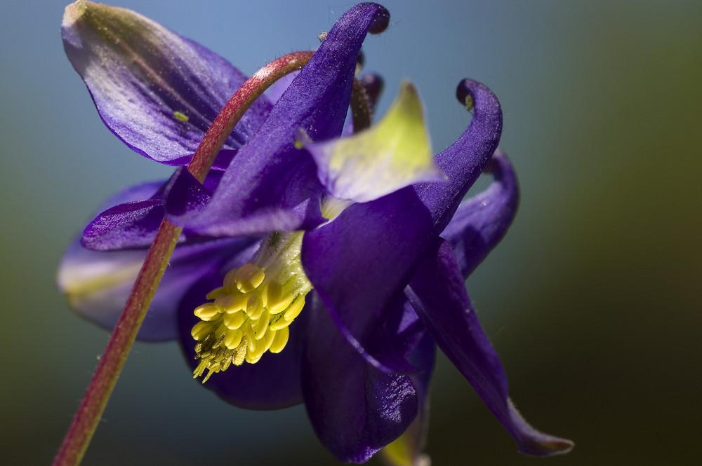 Frühling im Garten - Blüte der Akelei 2