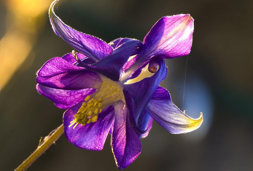 Frühling im Garten - Blüte der Akelei im Sonnenlicht