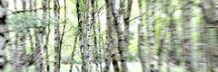 Frühling im Kapartenbirkenwald