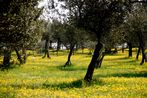 Frühling im Olivenhain