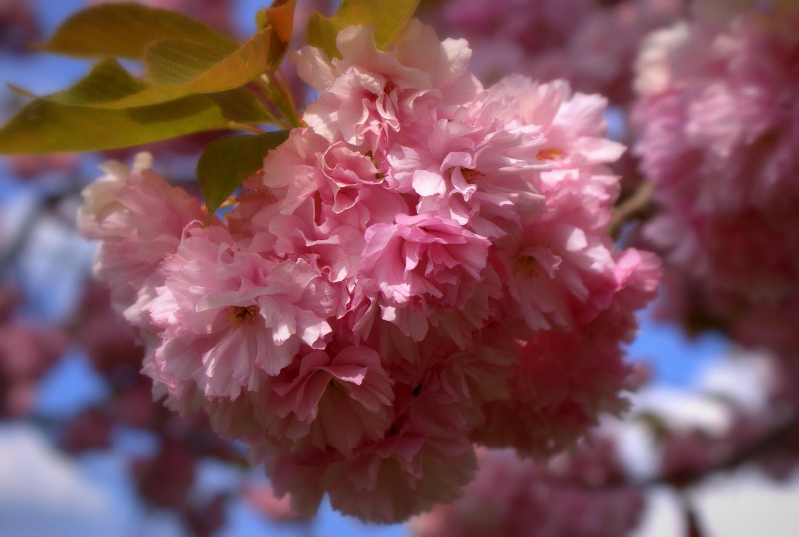 Frühling in Rosa