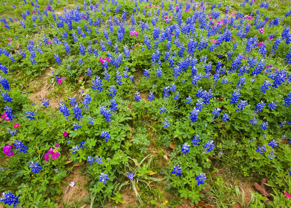 Frühling in Texas... Bluebonnets