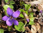 Frühling in Violett