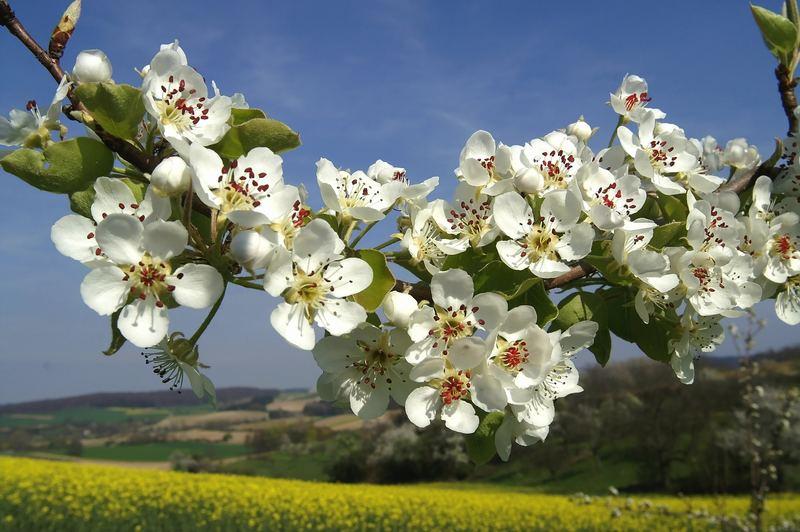 Frühling ist's im Kraichgau