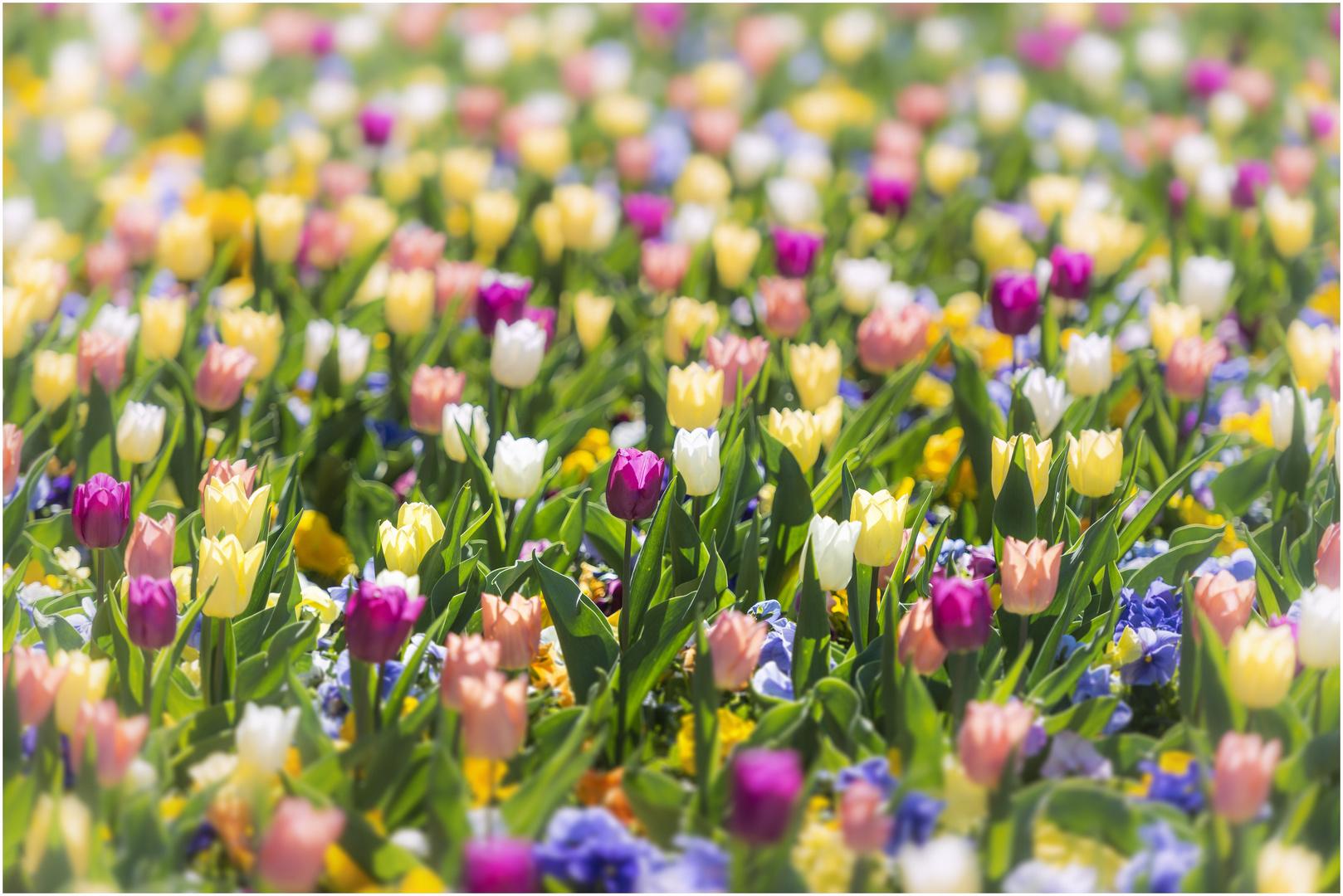 Frühling, ja du bist\'s ! Foto & Bild | outdoor, tulpen, frühling ...