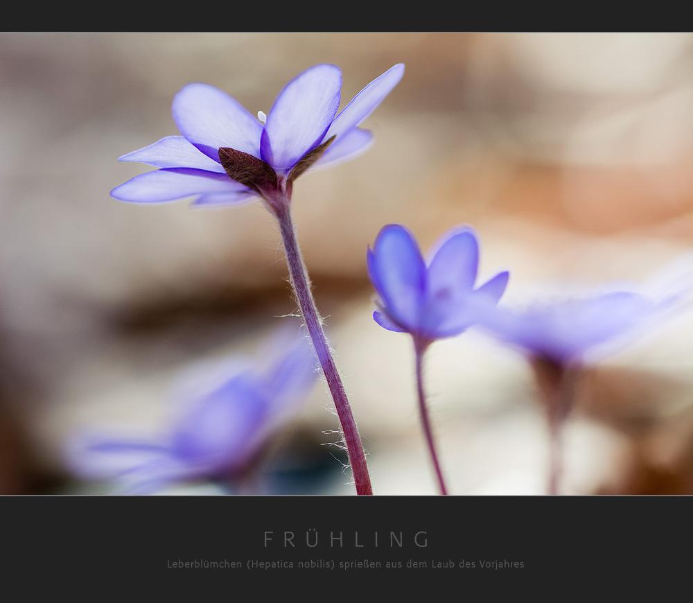 Frühling - Leberblümchen sprießen aus dem Laub des Vorjahres