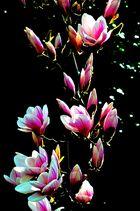 Frühling Magnolie
