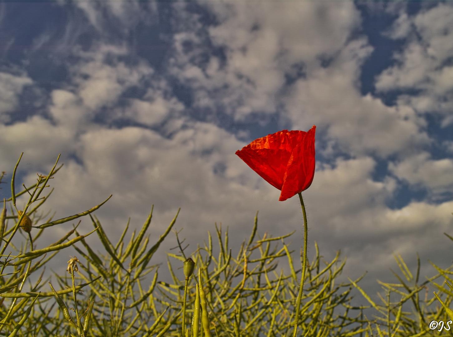 Frühling, Mohnblume im Feld