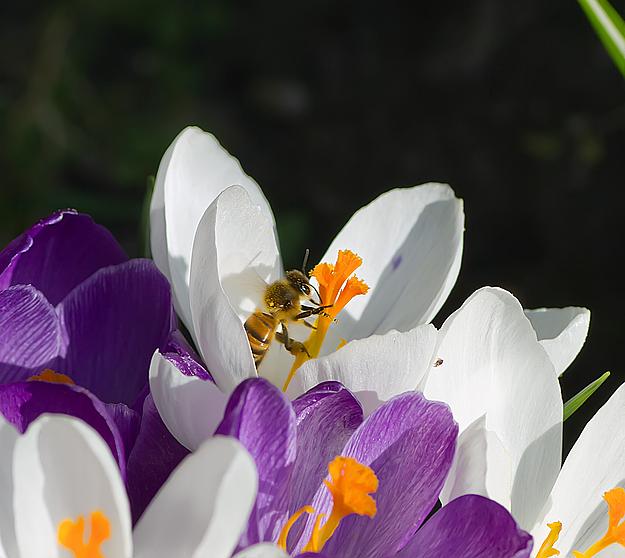 Frühling Pollen sammeln
