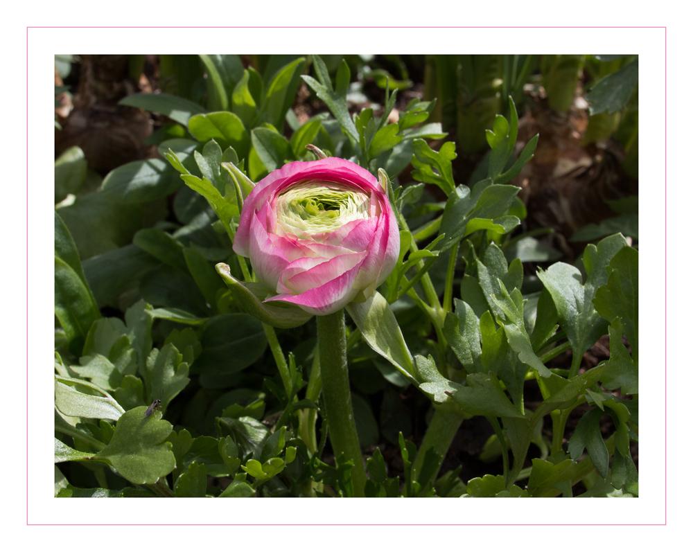 Frühling rosa