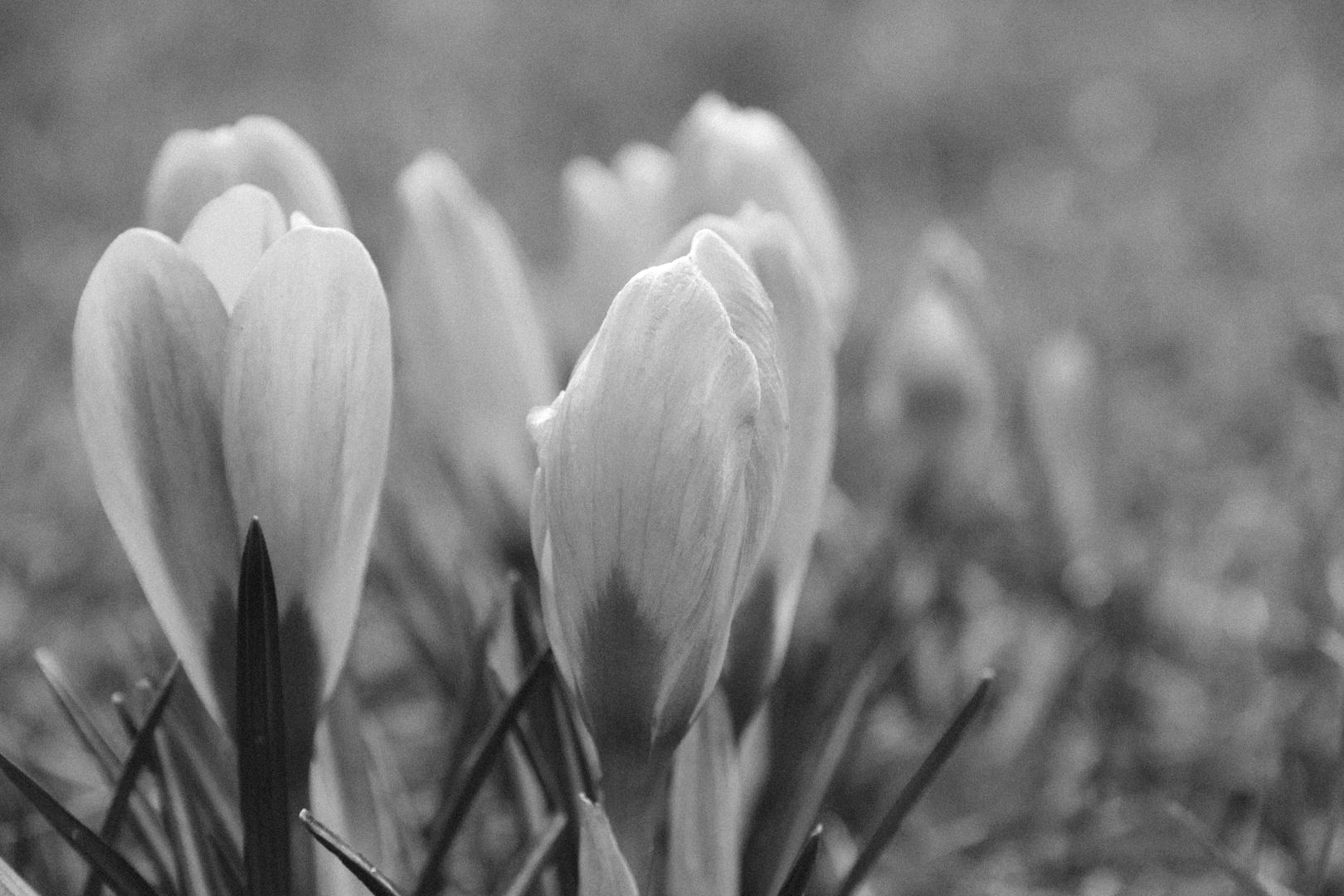 Frühling S/W