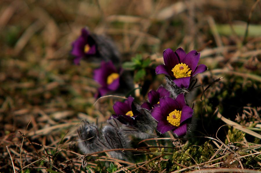 Frühlingboten