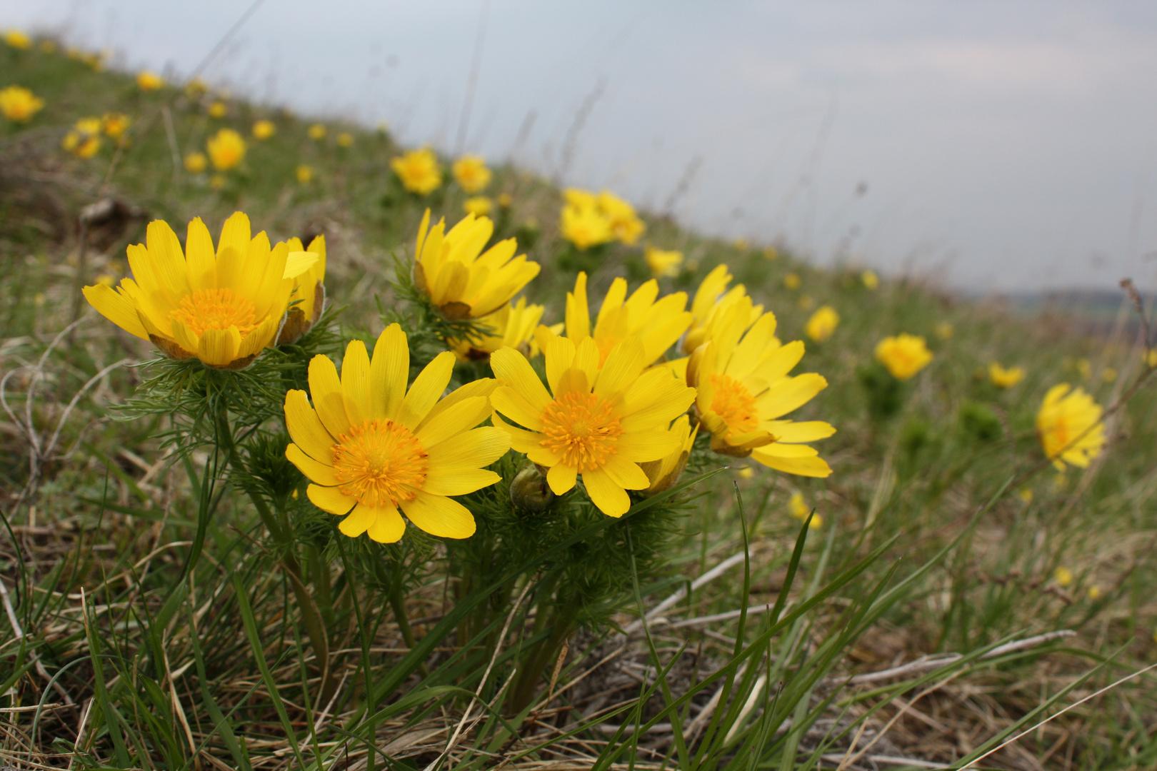Frühlings-Adonisröschen (Adonis vernalis)...