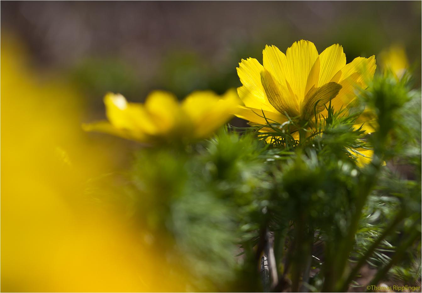 Frühlings-Adonisröschen oder Frühlings-Adonis (Adonis vernalis)....