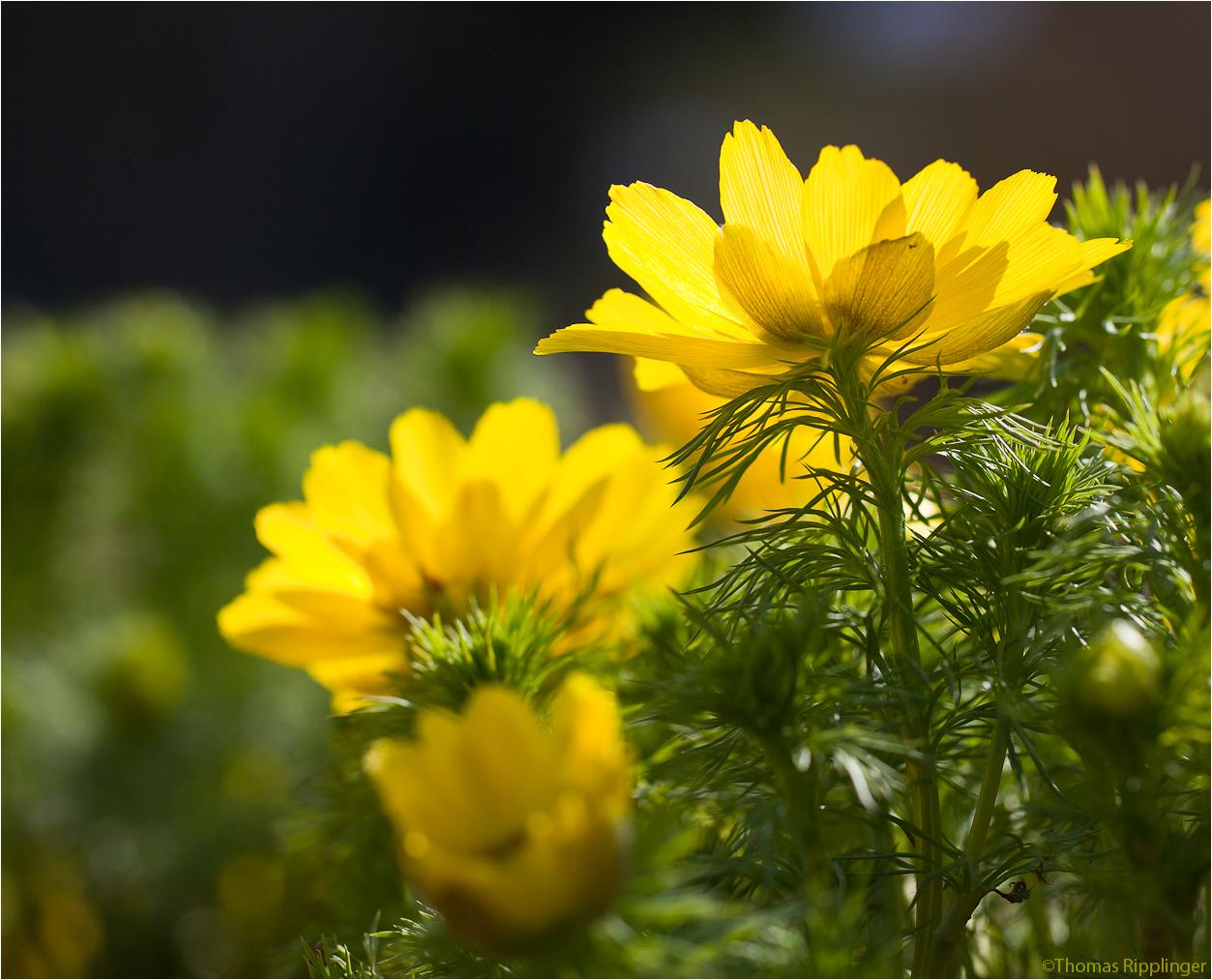 Frühlings-Adonisröschen oder Frühlings-Adonis (Adonis vernalis)...