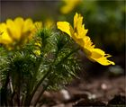 Frühlings-Adonisröschen oder Frühlings-Adonis (Adonis vernalis)..