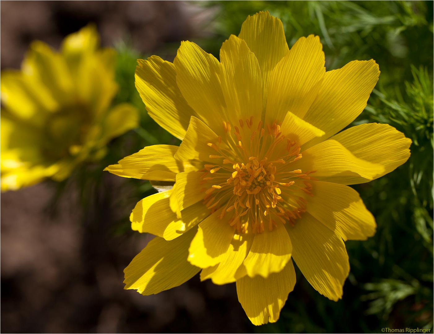 Frühlings-Adonisröschen oder Frühlings-Adonis (Adonis vernalis).....