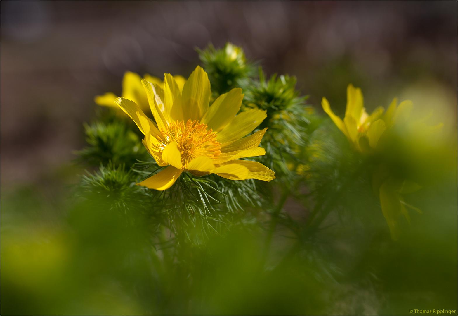 Frühlings-Adonisröschen oder Frühlings-Adonis (Adonis vernalis).