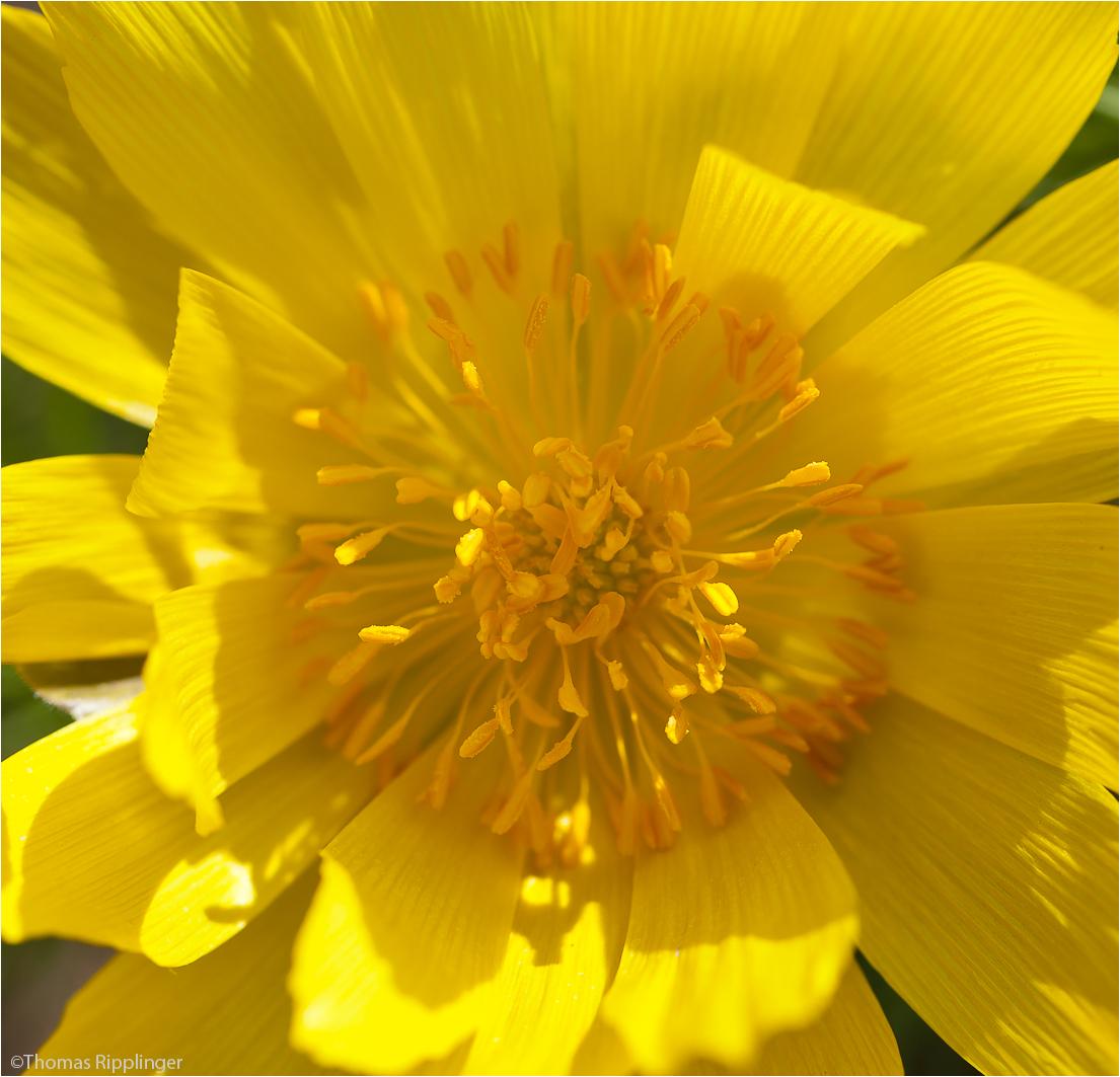 Frühlings-Adonisröschen oder Frühlings-Adonis (Adonis vernalis)......