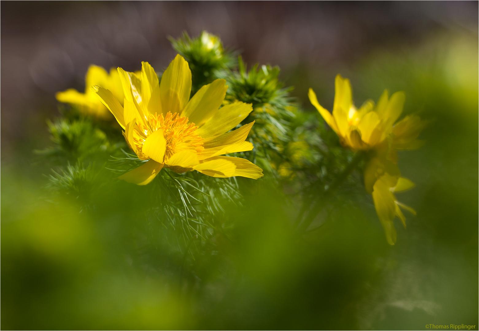 Frühlings-Adonisröschen oder Frühlings-Adonis (Adonis vernalis)