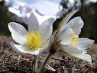 Frühlings - Anemone auch Pelz-Anemone  oder  Frühlings-Küchenschelle.