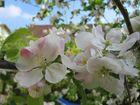 Frühlings-Apfelblüten