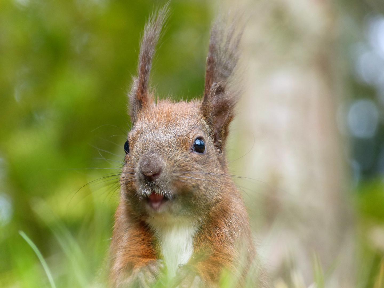 Frühlings - Eichhörnchen