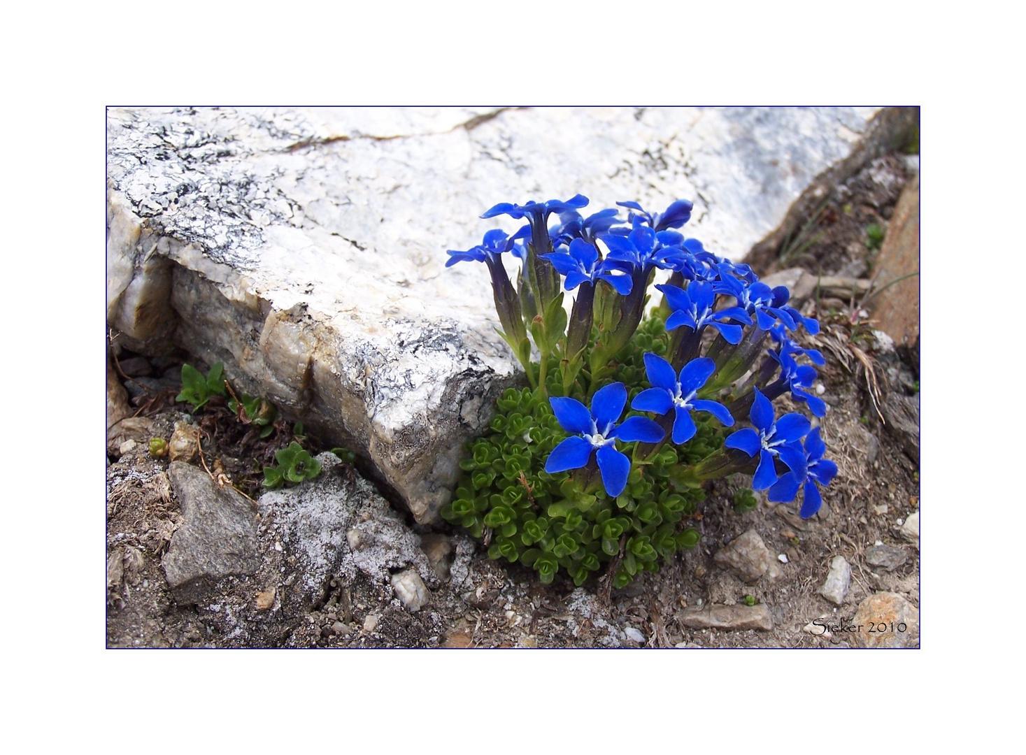 Frühlings-Enzian ...