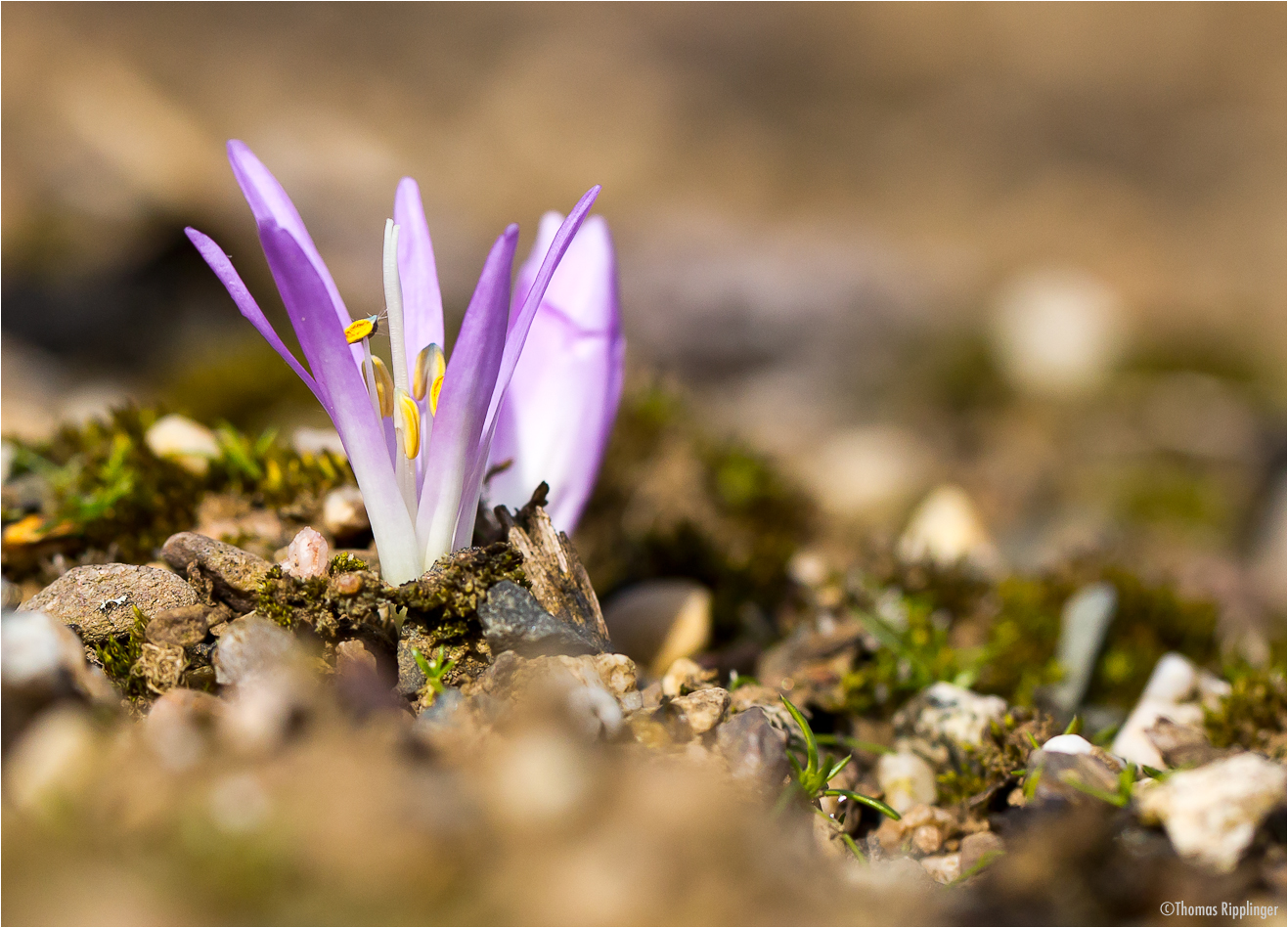 Frühlings Lichtblume (Colchicum bulbocodium).