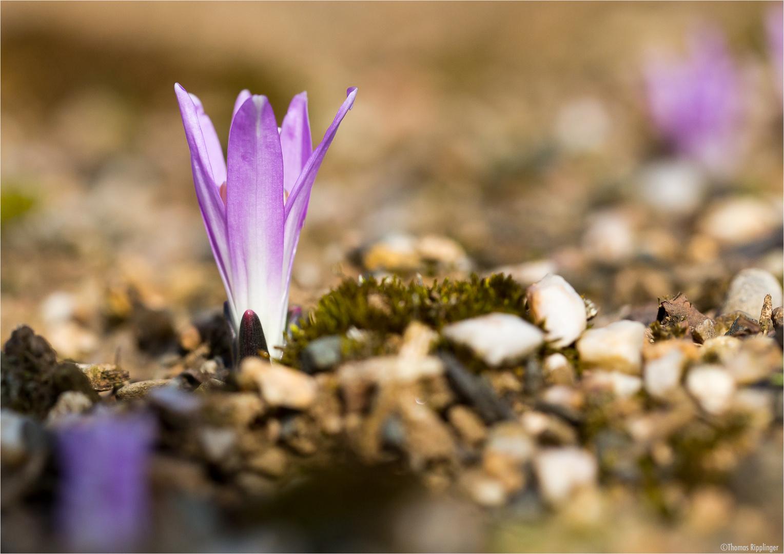 Frühlings Lichtblume (Colchicum bulbocodium)...
