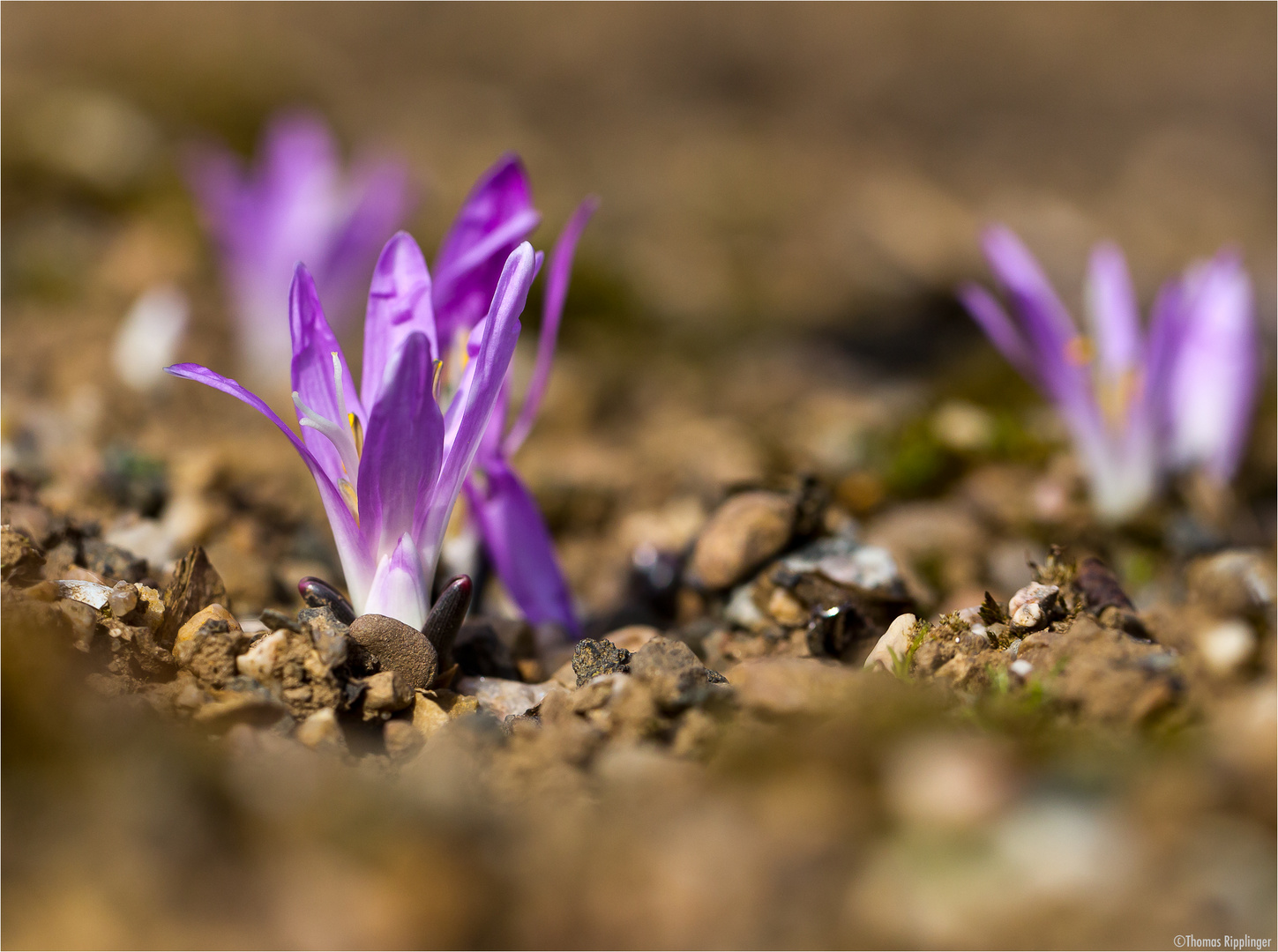 Frühlings Lichtblume (Colchicum bulbocodium)