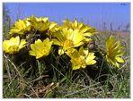 Frühlings Sonnenblumen