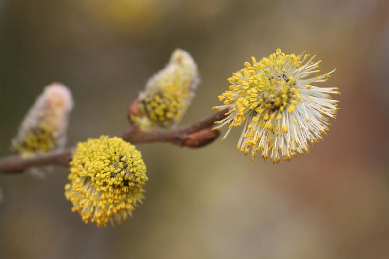 Frühlings-Weide