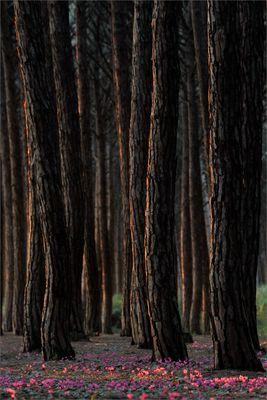 Frühlingsabend im Pinienwald