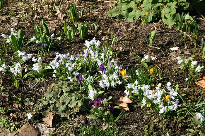Frühlingsanfang, Krokusse und Schneeglöckchenmix in Kreuzberg