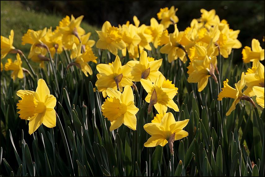 Frühlingsaugenweide