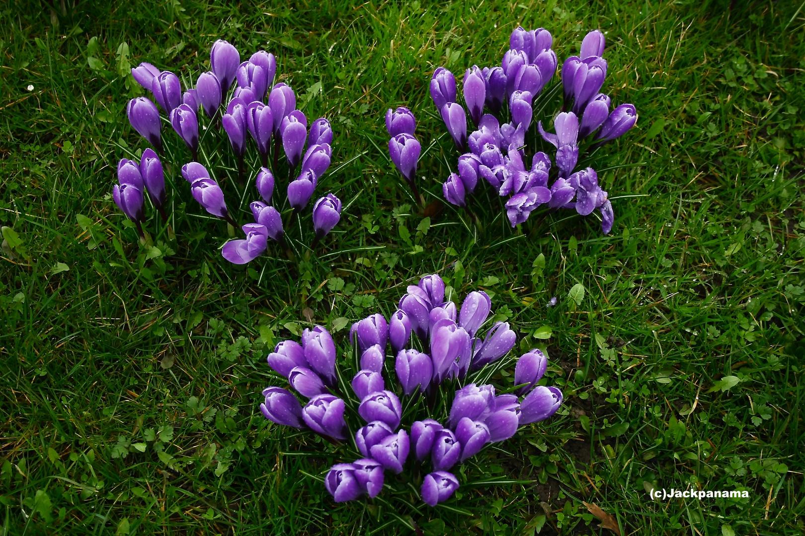 Frühlingsbeginn - Zeit der Krokusse