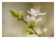 Frühlingsblüten II