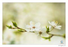 Frühlingsblüten IV