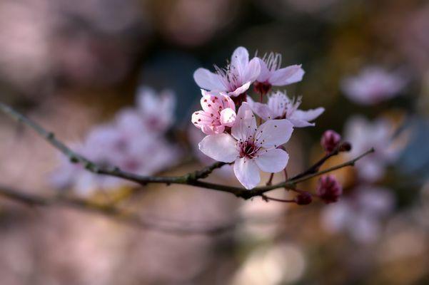 Frühlingsblütenzweig