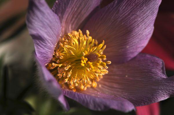 Frühlingsblume