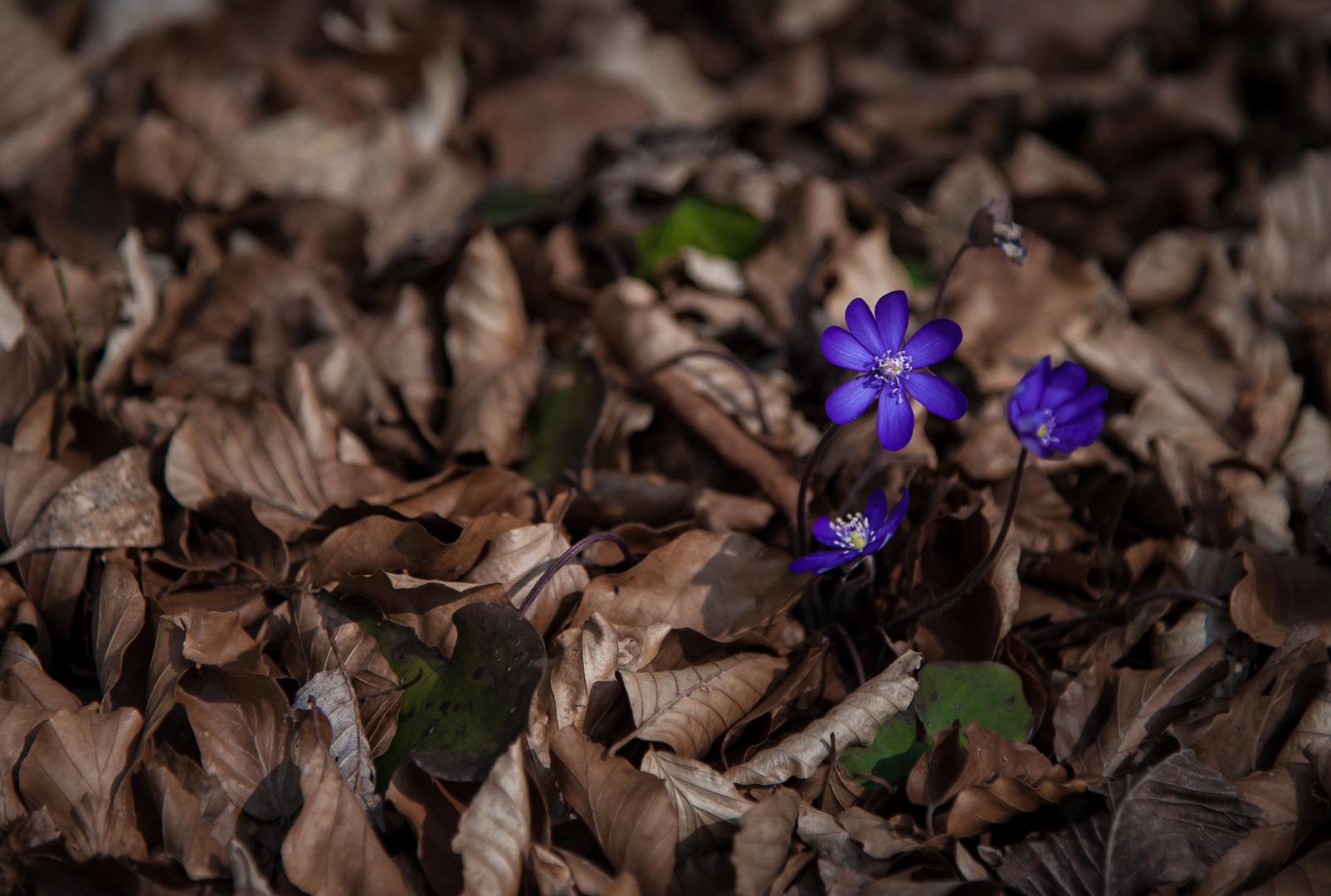 Frühlingsblume im Herbstlaub
