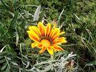 Frühlingsblume in der Türkei
